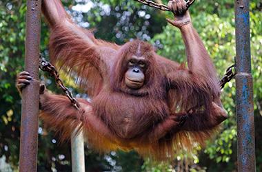 orangutan_img