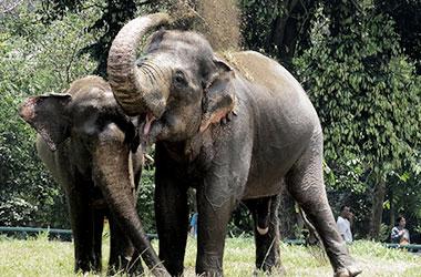 Gajah-sumatera-konten