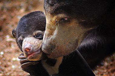 beruang-madu-konten